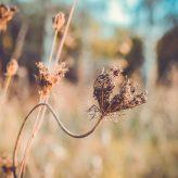 Pyłki leszczyny